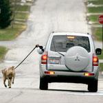 fat_american_walking_dog_from_car